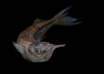 Hyporhamphus-unifasciatus-Pajarito-plateado
