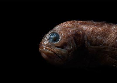 Lonchopisthus-sinuscalifornicus-Bocon-cola-larga