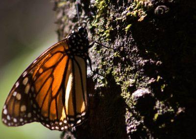 Mariposa-monarca-02