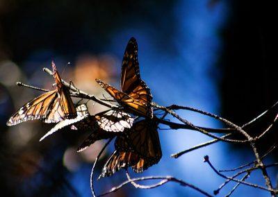 Mariposa-monarca-03