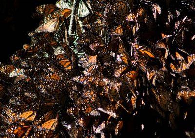 Mariposa-monarca-04