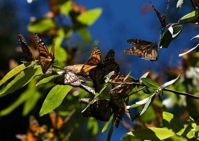 Mariposa-monarca-05