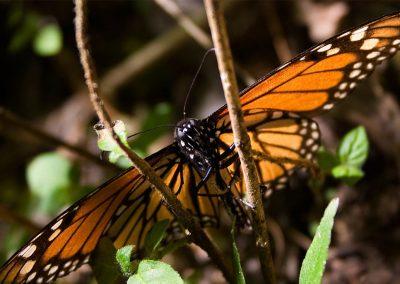 Mariposa-monarca-06