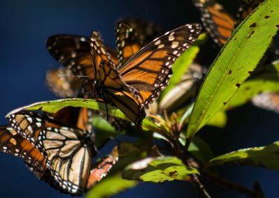 Mariposa-monarca-07