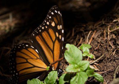 Mariposa-monarca-08