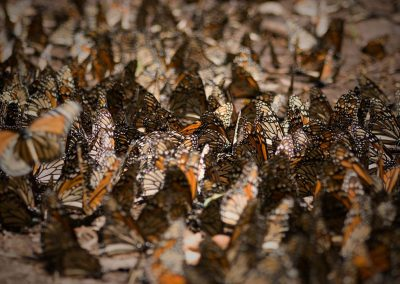 Mariposa-monarca-09