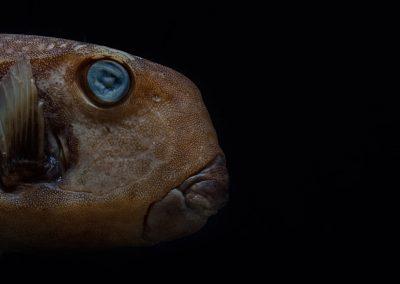 Ostracion-meleagris-Cofre-moteado
