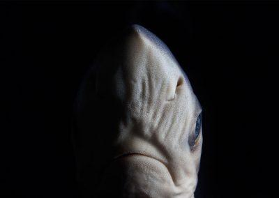 Prionace-Glauca-Tiburon-azul